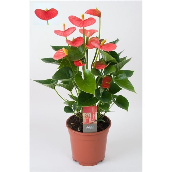 <h4>Anthurium Adios Orange</h4>