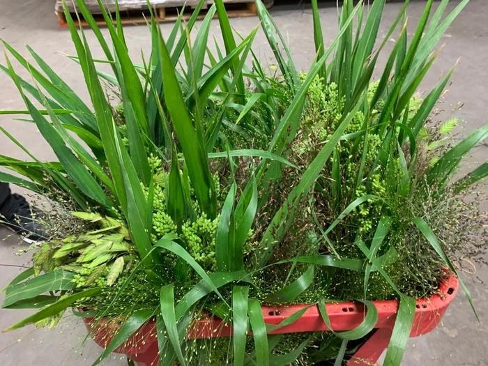 <h4>Grasses - Mix Grass (Panicum, Splash, Chasmantium) (Stem)</h4>
