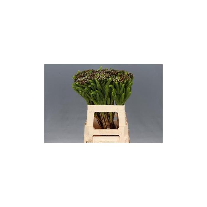 <h4>Albiflora 60 Xl P.bl</h4>