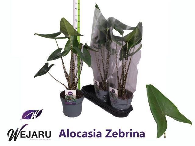 <h4>Alocasia Zebrina 2 St</h4>