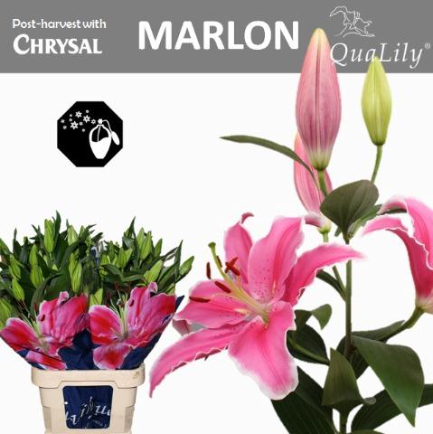 <h4>LI OR MARLON</h4>