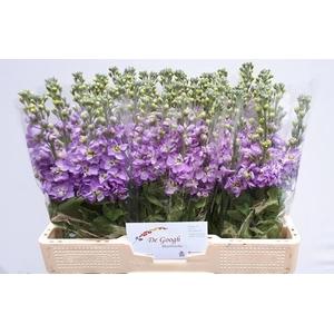 Matth Figaro Lavende