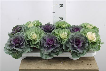 <h4>Brassica Oleracea Mix</h4>