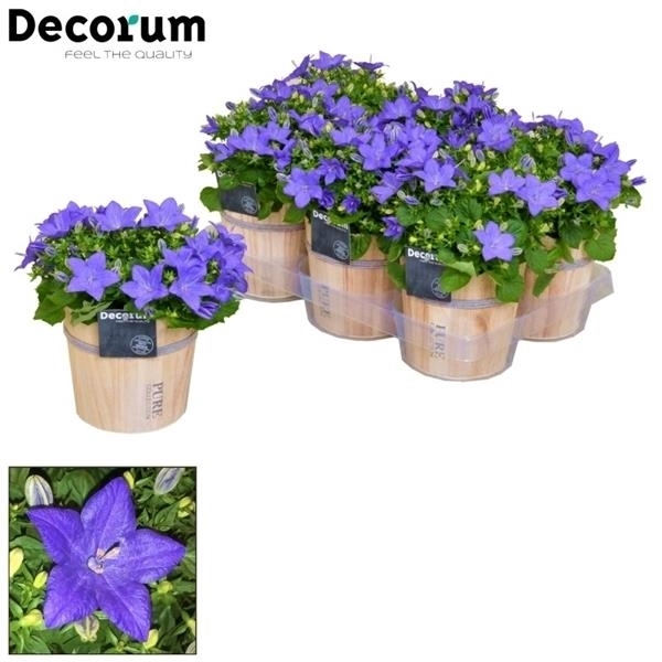 <h4>Campanula 'Napoli' Decorum Wood</h4>
