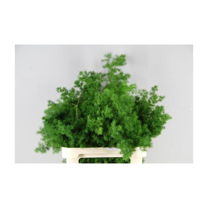 <h4>Asparagus Umbellatus 60/90cm</h4>