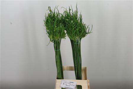 <h4>Allium Art</h4>
