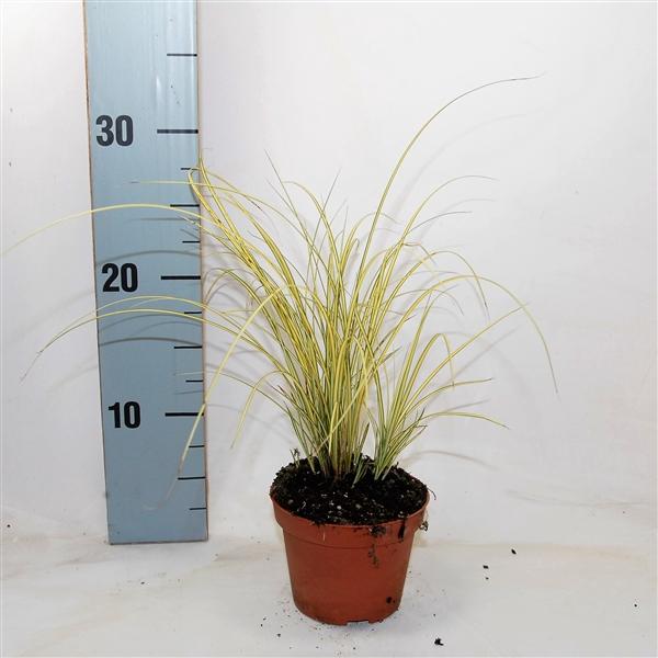 <h4>Carex brunnea 'Jenneke' p10,5</h4>