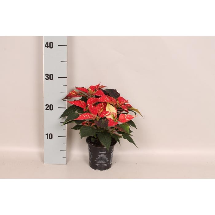 <h4>Poinsettia 10,5 cm Christmas Feelings® Glitter</h4>