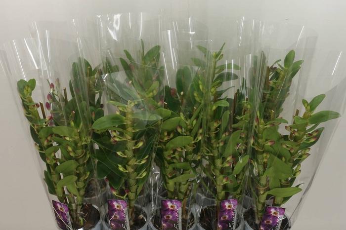 <h4>Dendrobium Nobile Lilac</h4>