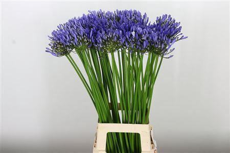 <h4>Agapanthus Uri Blue</h4>