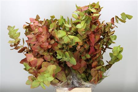 <h4>Dec Cynerea Autumn</h4>