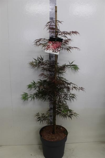 <h4>Acer palmatum 'Garnet'</h4>