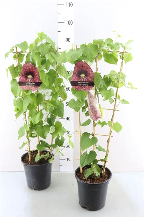 <h4>Aristolochia Grandiflora</h4>
