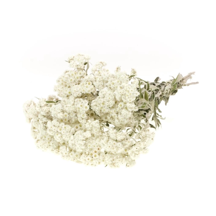<h4>DRIED FLOWERS - ANAPHALIS NATURAL WHITE</h4>
