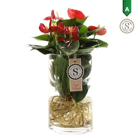 <h4>Anth St Red Champion Glas Aqua Roots</h4>