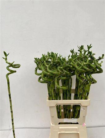 <h4>Drac S Lucky Bamboo 70cm</h4>
