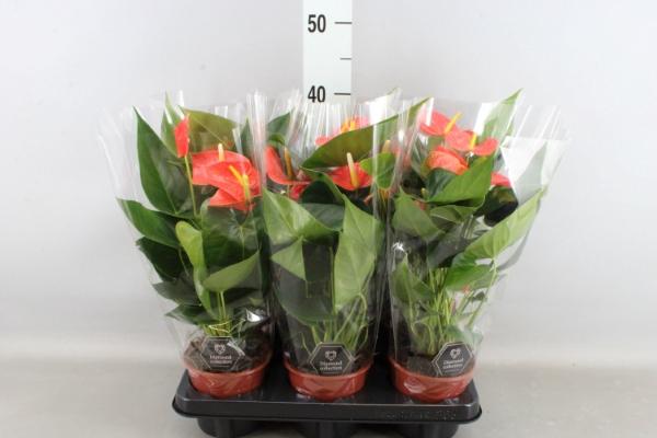 <h4>Anthurium andr. 'Prince of Orange'</h4>