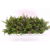 <h4>Cuphea hyssopifolia Floriglory® Twin</h4>