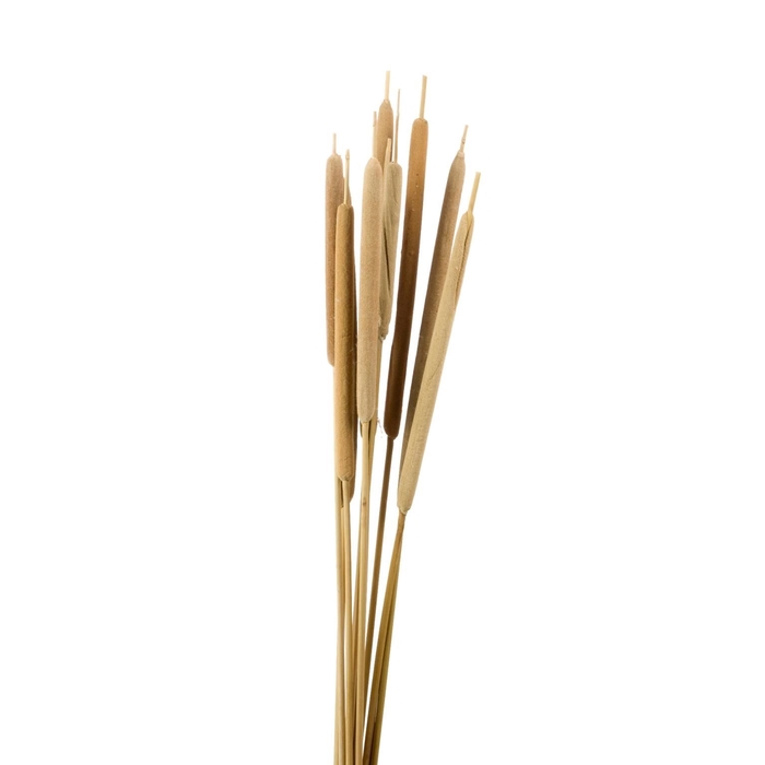 <h4>DRIED FLOWERS - TYPHA LARGE 10PC NAT.</h4>
