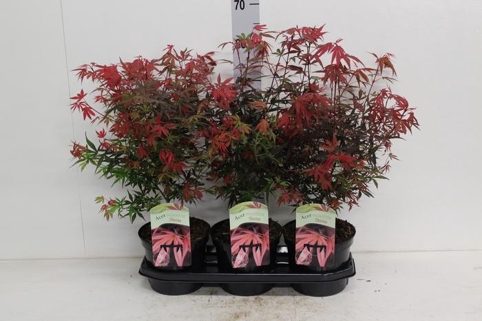 <h4>Acer palmatum 'Shaina'</h4>