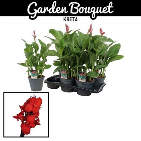 <h4>Canna Garden Bouquet Kreta</h4>