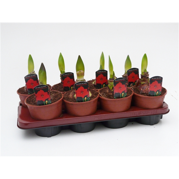 <h4>Hippeastrum Rood 1 knop</h4>
