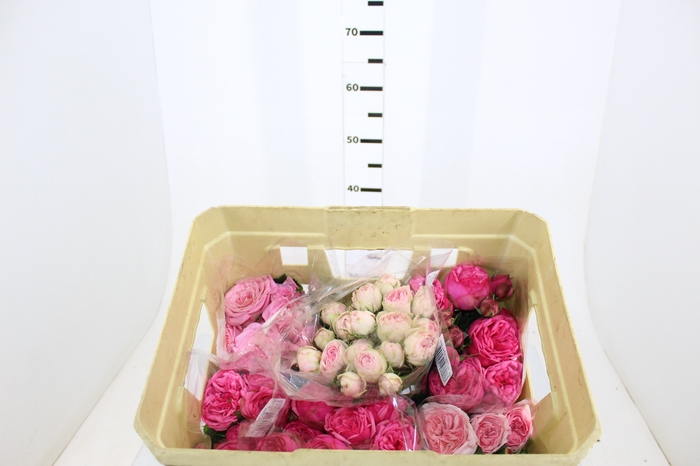 <h4>ROSA SPRAY PIANO LINE VARIADA 040 CM</h4>