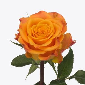 Rosa Gr. Marie-Claire!