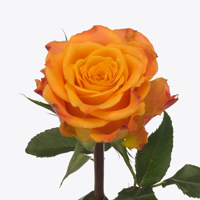 <h4>单头玫瑰 美丽俏佳人</h4>