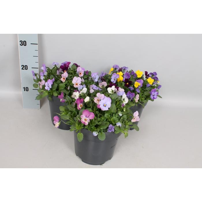 <h4>Viola cornuta 19 cm Diverse</h4>