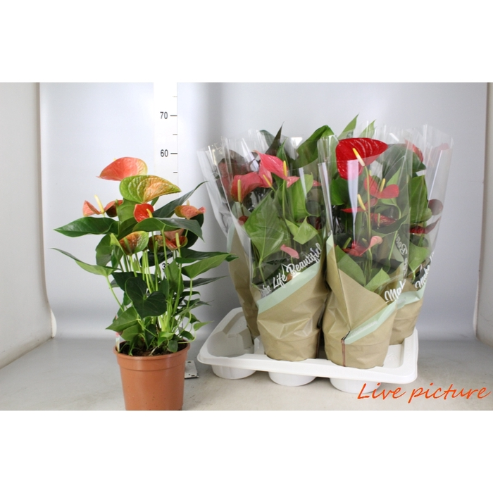 <h4>Anthurium Andr. Mix 5 Kleuren</h4>