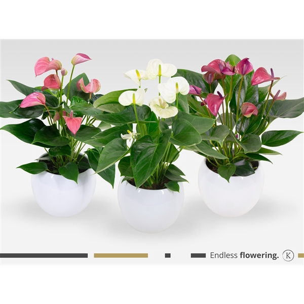 <h4>KARMA - Mix Anthurium | Bolpot White 18cm | art. LSN18WHI-MIX12</h4>