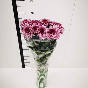 Chrysanthemum monoflor zembla fucsia y blanca