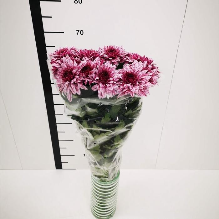 <h4>Chrysanthemum monoflor zembla fucsia y blanca</h4>