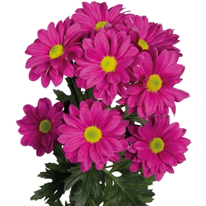 Chrysanthemum spray bacardi fucsia