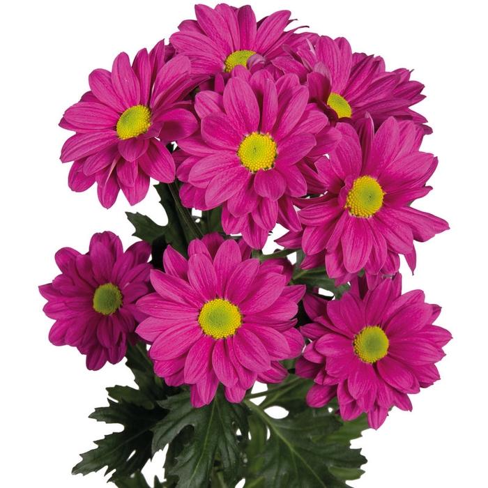 Chrysanthemum spray bacardi fucsia