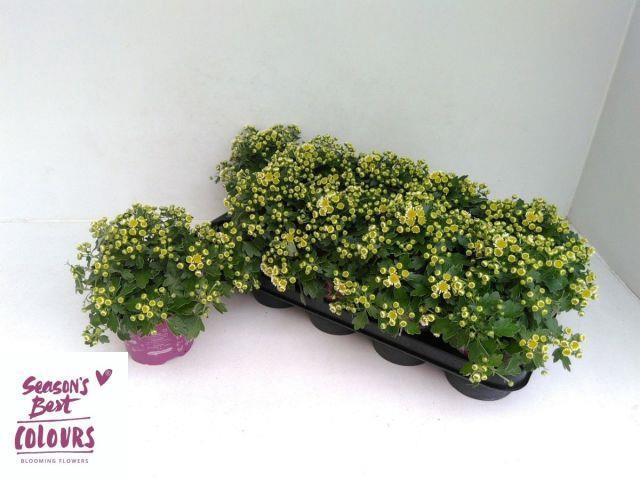 <h4>Ajania Yellow 12Ø 15cm</h4>