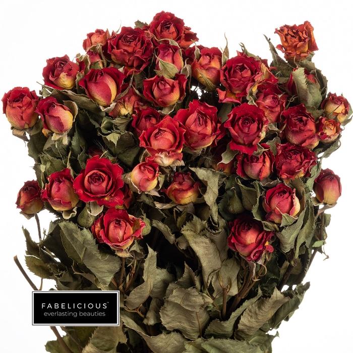 <h4>Dried Rosa tros Babe</h4>