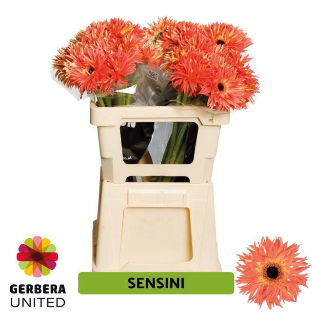 <h4>GE GS SENSINI</h4>