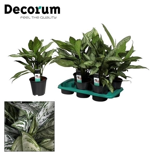 <h4>Aglaonema Silver Queen (Decorum)</h4>