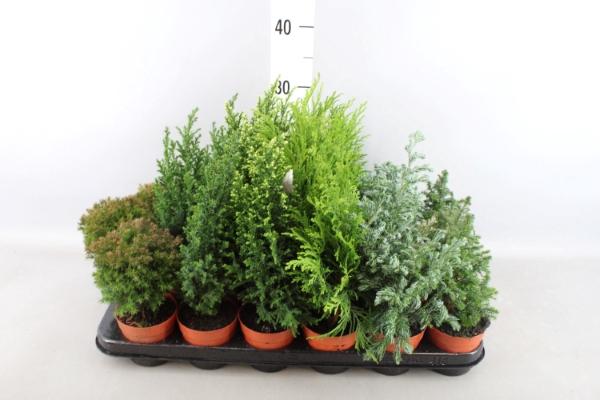 <h4>Conifers   ...mix</h4>