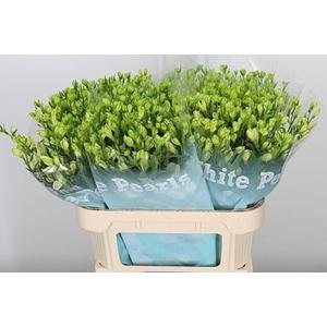 Alstr Flor White Pearls