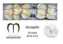 Anthurium Acropolis