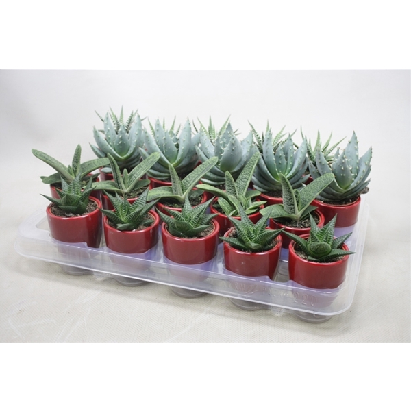 <h4>Aloe gemengd In rode pot</h4>