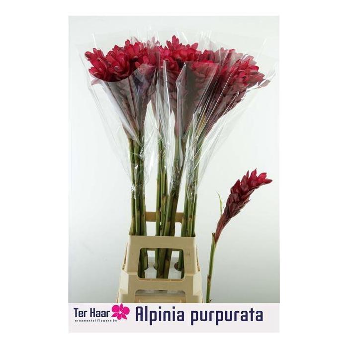 <h4>ALPINIA PURPURATA</h4>
