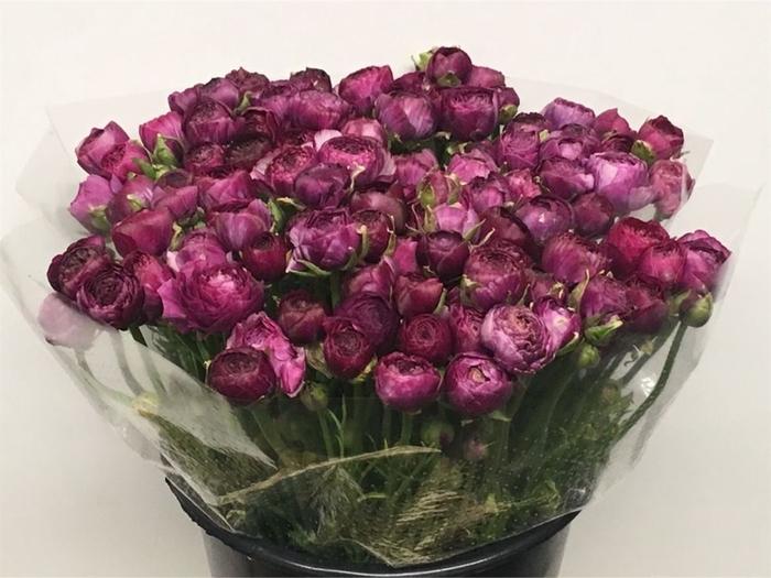 <h4>Ran El Violet Extra</h4>
