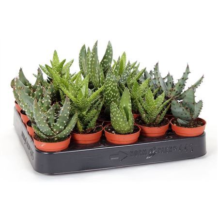 <h4>Aloe Mix 5,5 Cm</h4>