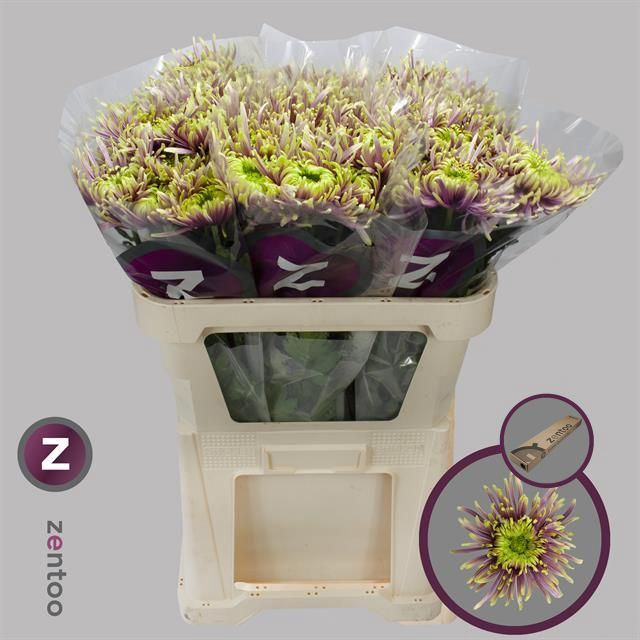 <h4>Chrysanthemum PL 'Baltazar'</h4>