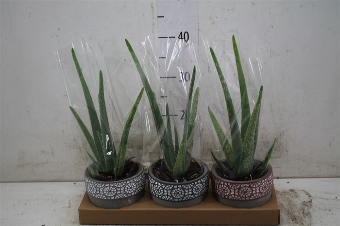 <h4>Aloe Vera In Mexico</h4>