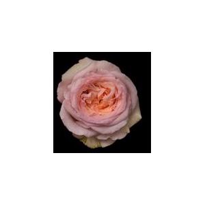 Rosa Gr. DFR109